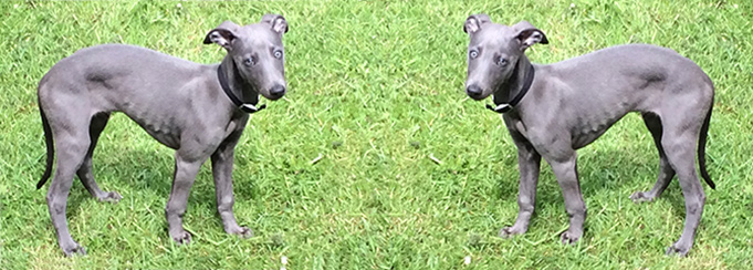 Sheffield Whippets – Designer Dogs?